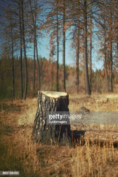 tree stump amongst burnt trees - tree stump stock pictures, royalty-free photos & images