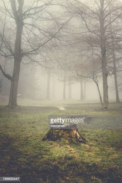 tree stump and trees on a hazy morning - tree stump stock pictures, royalty-free photos & images