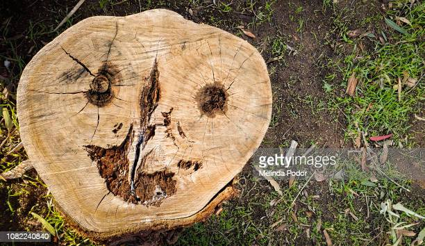 tree stump from above, pattern resembling grotesque face - pareidolia stock pictures, royalty-free photos & images