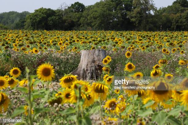 "tree stump in a sunflower field - ""paul mansfield photography"" stock pictures, royalty-free photos & images"