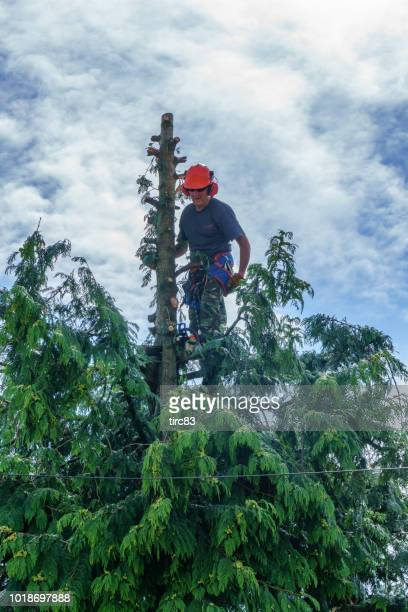 Tree surgeon cutting branches down
