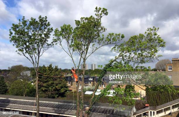 Tree Surgeon felling urban tree
