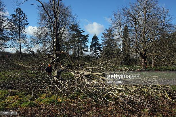 A tree surgeon on the ground cuts branches from a horse chestnut tree about to be felled after it was identified as being infected with bleeding...