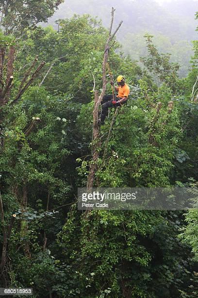 Tree surgeon up a tree working