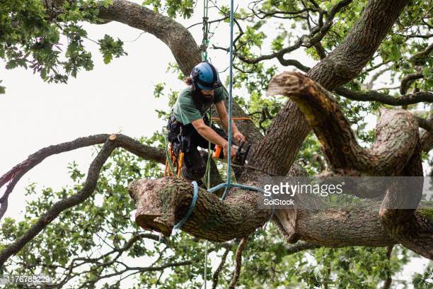tree surgeon using chainsaw to cut tree branch tied up with rope - removal stock pictures, royalty-free photos & images