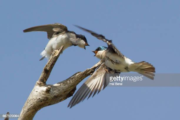 Tree Swallow chases another