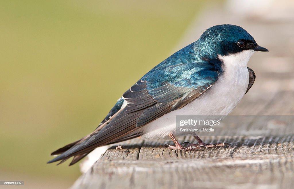Tree swallow closeup : Stock Photo