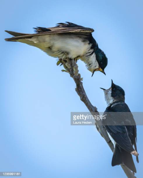 tree swallow in springtime arguing - birdsong stock pictures, royalty-free photos & images