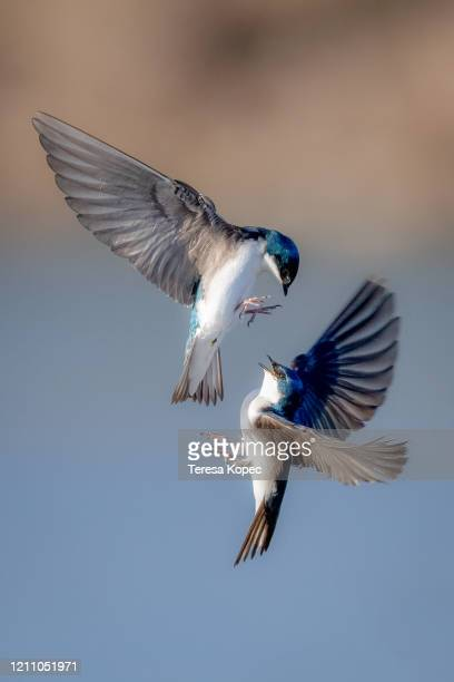 tree swallows in flight - songbird stock pictures, royalty-free photos & images