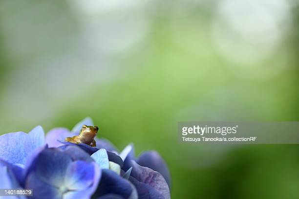 Tree Toad on Hydrangea Flower