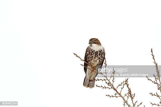 tree top - red tailed hawk stock photos and pictures