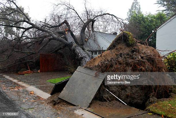 A tree toppled over in Land Park on Friday January 4 in Sacramento California