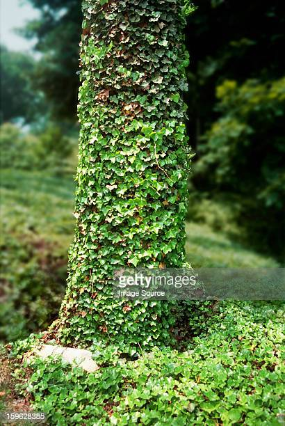 Tree trunk covered in ivy leaves