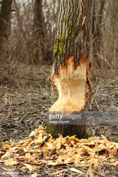 Tree trunk damaged by beaver