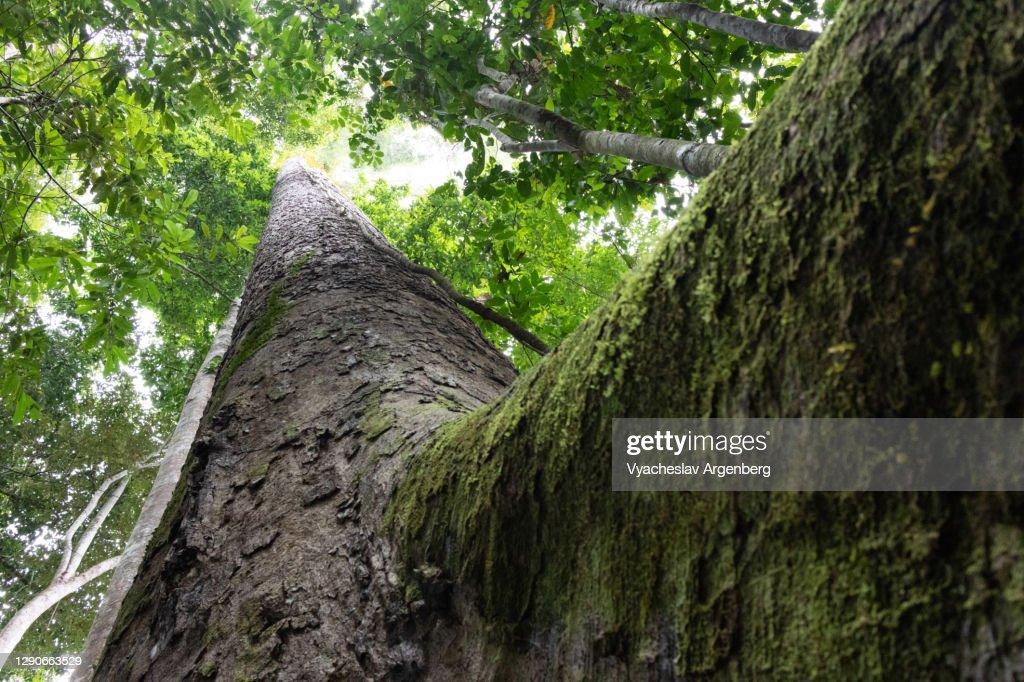 Tree trunk in Borneo rainforest, Malaysia : Stock Photo