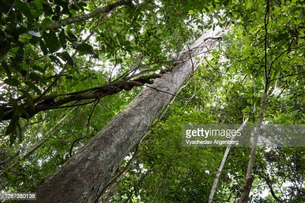 tree trunk in borneo tropical rainforest, malaysia - argenberg stock pictures, royalty-free photos & images