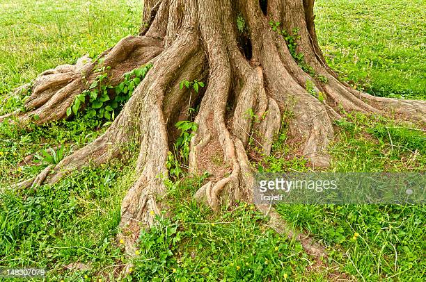 Tree trunk with exposed roots