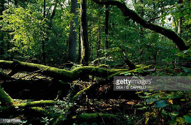 Tree trunks Bialowieza Forest National Park Poland