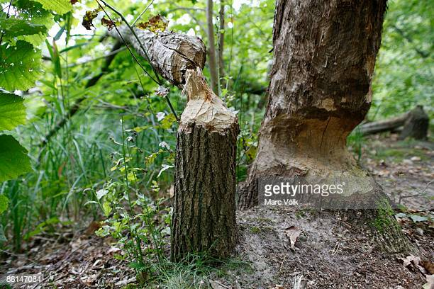 Tree trunks gnawed by beavers