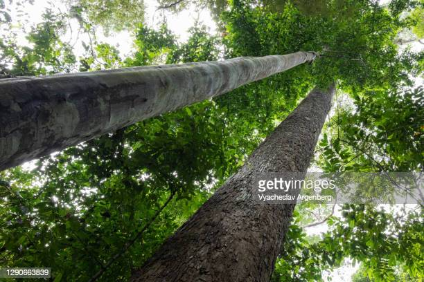 tree trunks in borneo rainforest, malaysia - dipterocarp tree stock pictures, royalty-free photos & images