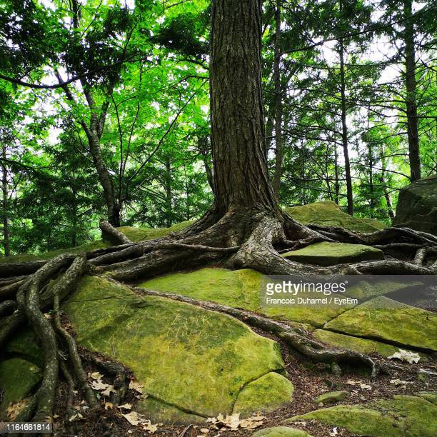 tree trunks in forest - lévis quebec stock pictures, royalty-free photos & images