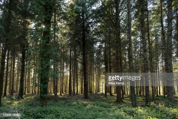 Tree trunks of conifer or pine trees in a forested area on 6th May 2021 in Eggesford, Devon, United Kingdom. Light penetrates through the dark forest...