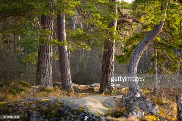 tree trunks of pines - torto imagens e fotografias de stock