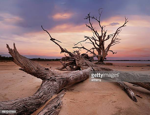 Tree trunks on beach,  Lake Bonney, Barmera, Riverland, South Australia, Australia