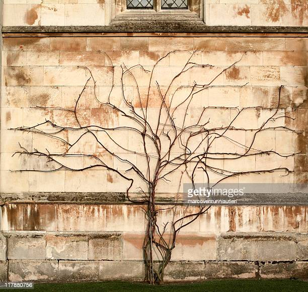 tree vs wall - creeper plant growing on stone wall - marcoventuriniautieri stock pictures, royalty-free photos & images