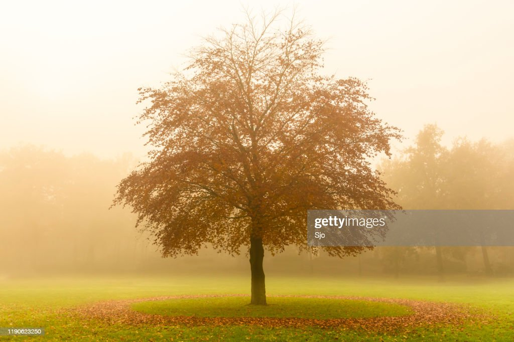 Tree with a circle of fallen leaves in a field during a foggy autumn day : Stock Photo