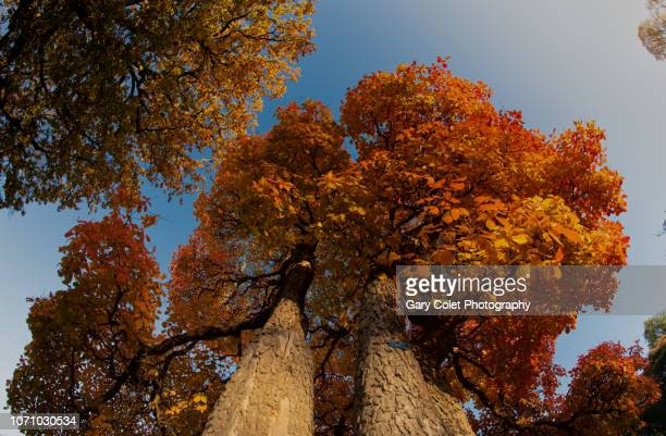 tree with beautiful golden leaves, seen from below - gary colet stock pictures, royalty-free photos & images