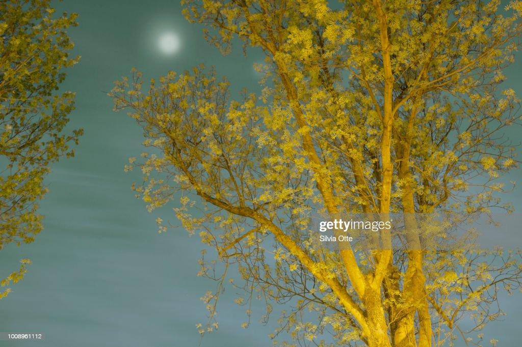 Tree with Full Moon : Stock-Foto