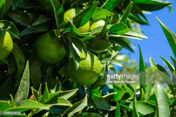 tree with green lime fruits - finn bjurvoll ストックフォトと画像