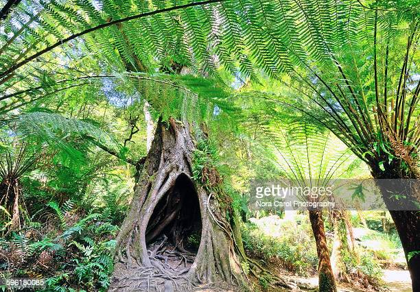 Tree with hole and ferns in Maits rest great Otway
