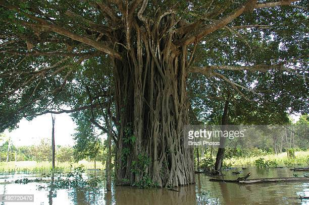Tree with lianas on its trunk flooded area of Amazon rain forest near Manicore Amazonas State Madeira river Brazil