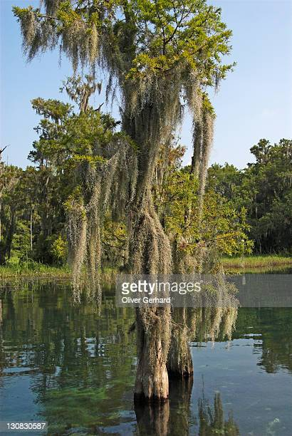 Tree with lichen, Rainbow River, Florida, USA