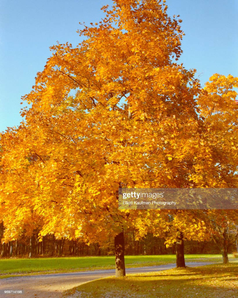 Tree with orange leaves in autumn in West Virginia : Stock-Foto