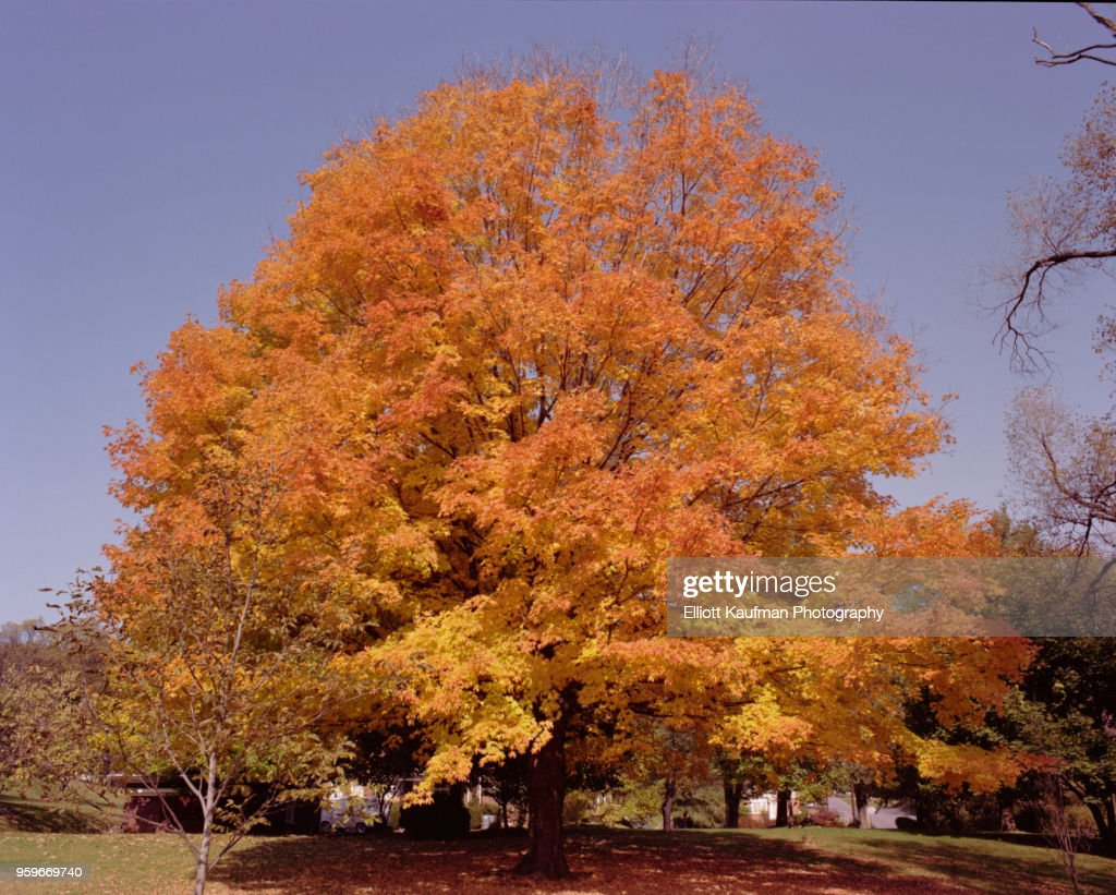 Tree with orange leaves in West Virginia in autumn : Stock-Foto