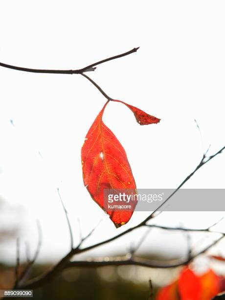 Tree with red leaf