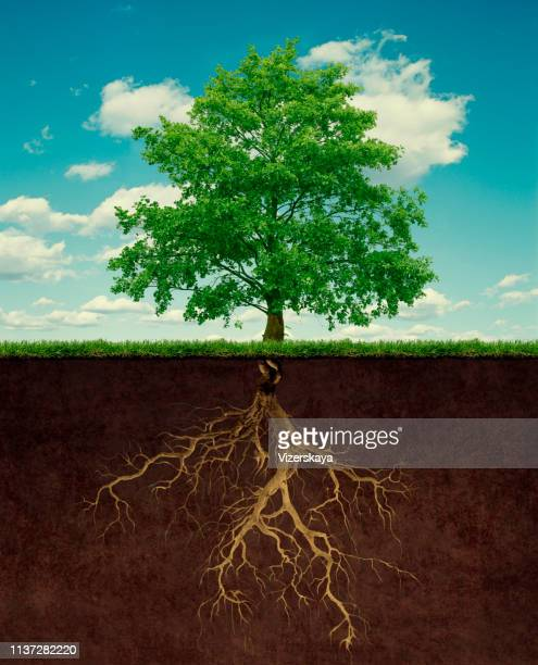 tree with root - cross section stock pictures, royalty-free photos & images