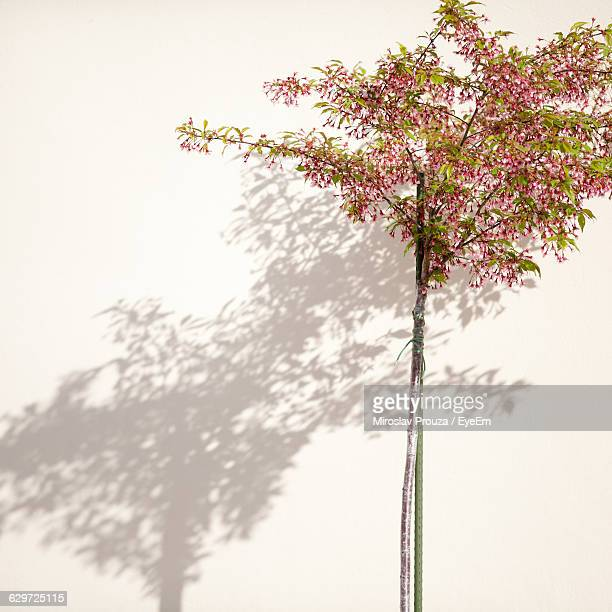 Tree With Shadow Falling On White Wall