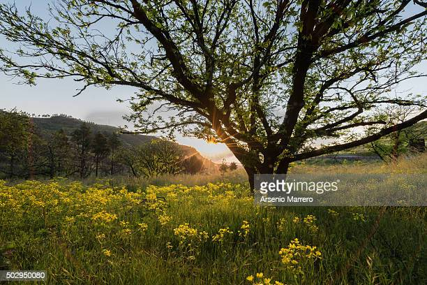 tree with sun backlight in tejeda mountains gran canaria - tejeda canary islands stock pictures, royalty-free photos & images