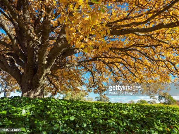 tree with yellow leaves during autumn - australian capital territory stock pictures, royalty-free photos & images