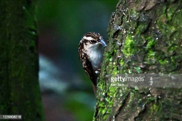 Treecreeper climbs a tree looking for insects under the bark at the RSPB's Loch Leven nature reserve, on December 2, 2020 in Kinross, Scotland.