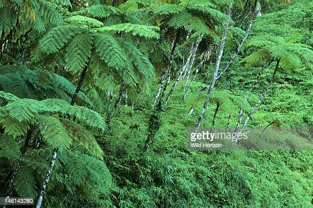 Treeferns in a subtropical rainforest clearing of El Yunque Caribbean National Forest Sierra de Luquillo Puerto Rico USA