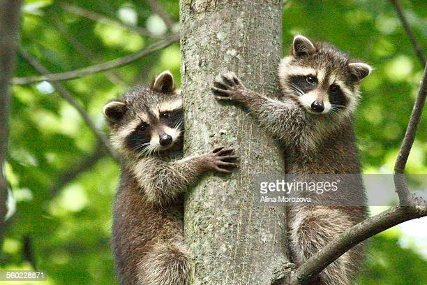 treehuggers - raccoon stock pictures, royalty-free photos & images