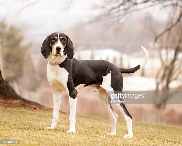 treeing walker coonhound standing on hill - coonhound stock pictures, royalty-free photos & images