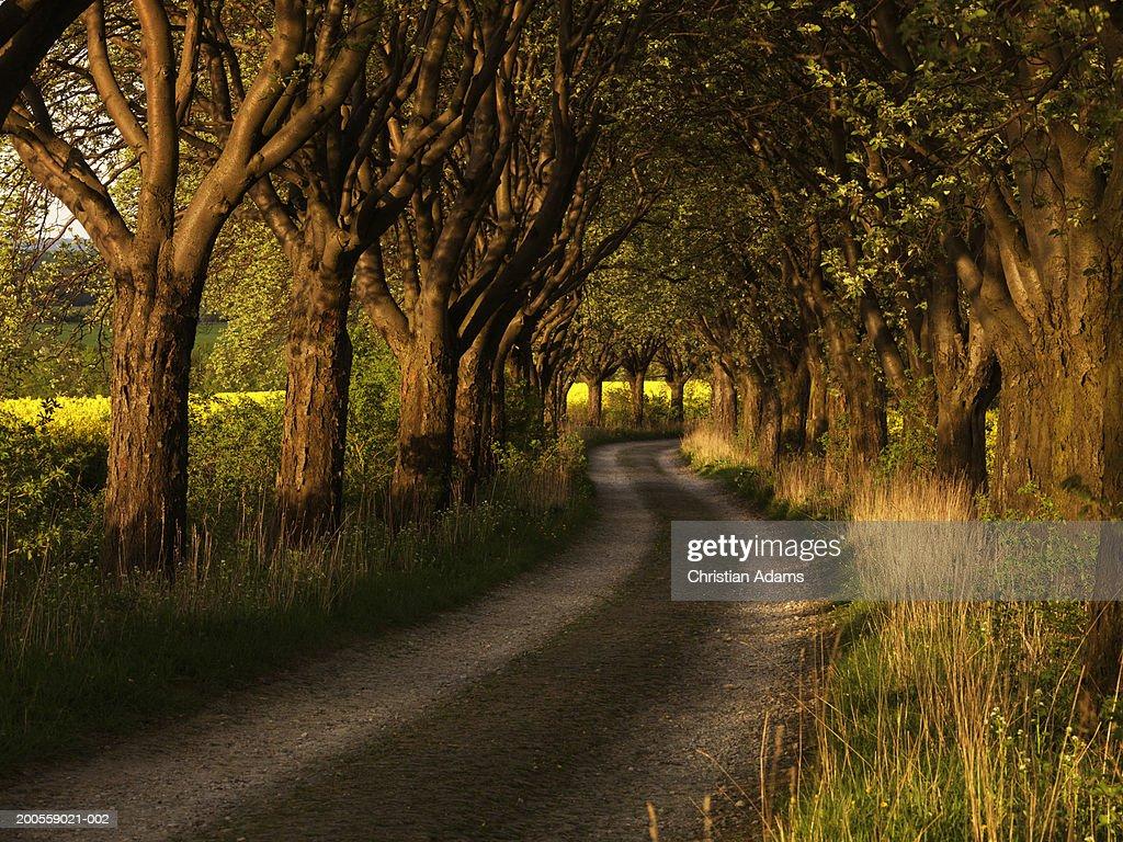 Treelined Dirt Road Sunset Stock Photo