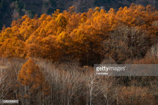 treelined - larch tree stock pictures, royalty-free photos & images