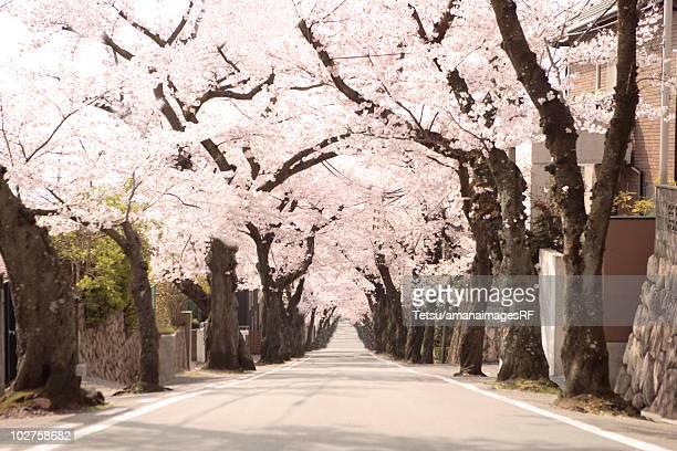 Treelined street, Hyogo Prefecture, Honshu, Japan